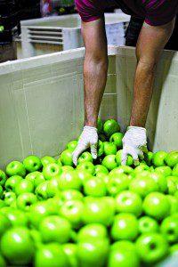 Volunteer Apples